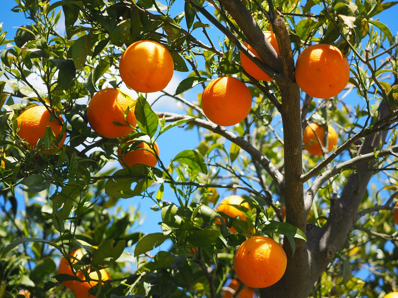 alberi di arance